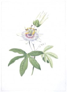 Botanical-Flower-Passion-flower-Passiflora-species-219x300