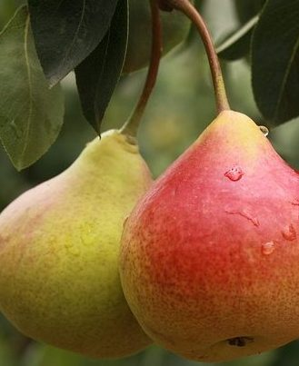 5 Edible Foods You Can Grow In A Small Space - Pears