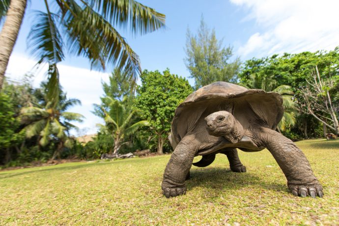 Giant Aldabra tortoise on an island in Seychelles