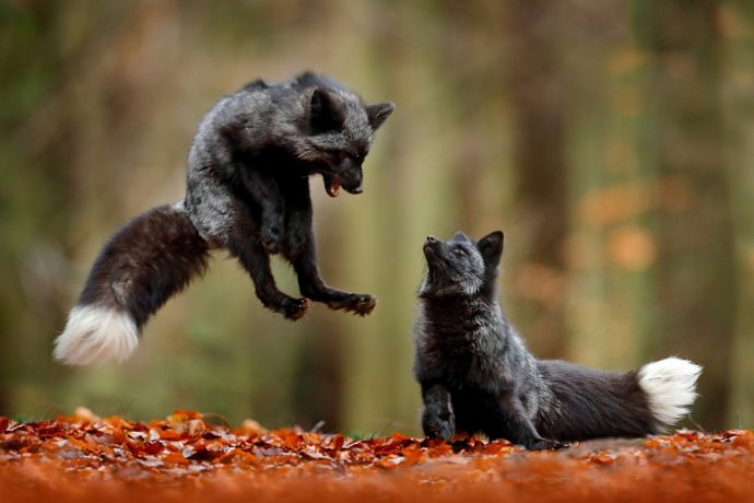 Two young silver foxes playing