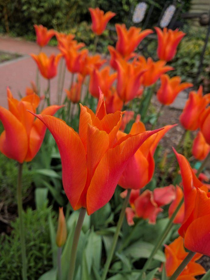 Tulip Ballerina