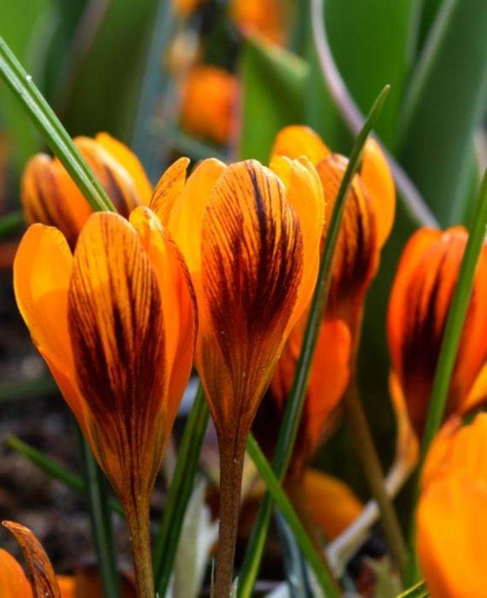 Crocus Orange Monarch