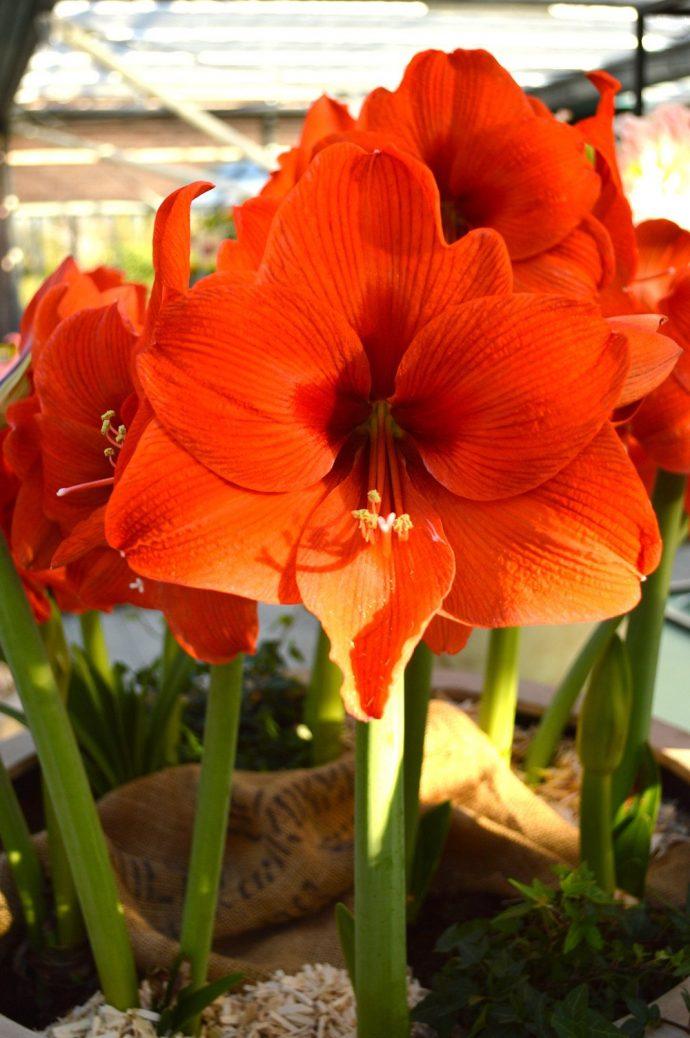 Image: Jumbo Amaryllis Orange Desire
